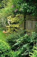 Close boarded fence with Euonymus and clematis. May