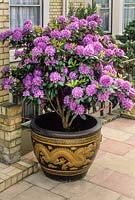 Rhododendron in flower in oriental style in glazed pot with gold dragon design. May