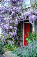 Wisteria sinensis trained on house with red front door