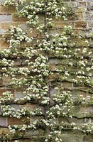 A trained pear in blossom on the wall of the house at Great Dixter. Pyrus