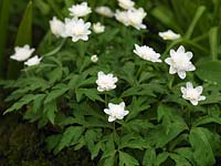 Anemone nemorosa 'Vestal', windflower, a low growing bulb with tiny white frilly flowers that thrives in the shade.