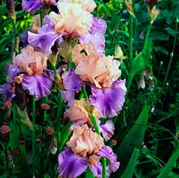 Iris 'Poem of Ecstacy', an American bearded iris with lilac and orange beard on mauve falls beneath apricot standards. Flowers in early summer.