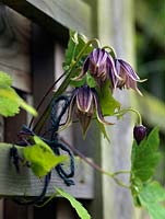 Clematis alpina tied in to the fence.