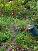 Woman picking mint in her 18m x 6m back garden where she grows a mix of fruit, herbs, decorative flowers and vegetables in packed borders.