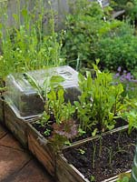 Plastic mini cloches over seedlings in old wine box. Red stemmed dandelion. Alys Fowler's 18m x 6m, organic back garden. Pretty and productive, a mix of fruit, herbs, flowers and vegetables thrive.
