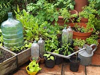 On terrace, recycled plastic 2L bottles improvise as mini cloches over basil. Growing in pots and boxes are lettuce, dandelion, peas, potato. Alys Fowler's 18m x 6m, organic garden.