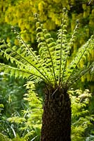 Dicksonia antarctica - Tree fern fronds unfurling in late spring.