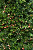 Taxus baccata - Yew with berries