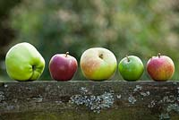 Arrangement of apple varieties. Apple 'Blenheim Orange', 'Lord Derby', 'Granny Smith', 'Cox's Orange Pippin' and 'Spartan'
