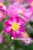 Anemone hupehensis var. japonica 'Bressingham Glow', Japanese anemone