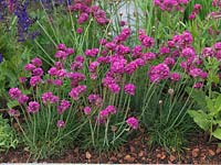 Armeria maritima, sea pink or thrift, a clump forming perennial with masses of papery pink flower heads in summer.