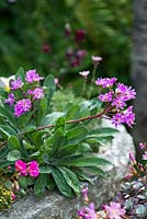 Lewisia Cotyledon Hybrids, evergreen perennials, alpine plants with rosettes of succulent, fleshy leaves and, from late spring, long sprays of funnel-shaped, pink to magenta, flowers. Thrives in stony soil, in rockeries or alpine troughs, as pictured here.
