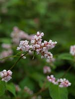 Persicaria campanulata, a semi-evergreen perennial which from late summer sends up slender spikes of tiny, fragrant, bell-shaped flowers.