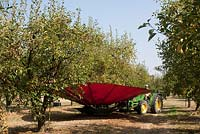 Mechanised method of harvesting ripe plums ready for drying.  Fruit is shaken from tree then softly collected by canvas aprons to avoid bruising.