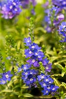 Veronica prostrata 'Goldwell', an alpine plant, good ground cover with golden leaves and pretty blue flowers.