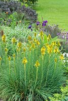 Asphodeline lutea in border with phlomis, lavender, sage and irises