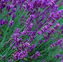 Lavandula angustifolia 'Hidcote', English lavender, a bushy shrub bearing purple flower spikes in June