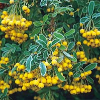 Pyracantha 'Soleil dOr', spiny evergreen shrub with glossy leaves, small white flowers in early summer, and orange yellow berries in autumn and winter. Frost.