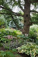 European Larix - Larch tree underplanted with Hosta 'Brim Cup', 'Great Expectations' and 'Abiqua Moonbeam' in backyard country garden in summer, Quebec, Canada