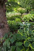 European Larix - Larch tree underplanted with Hostas including 'Abiqua Moonbeam' variety and Polystichum acrostichoides - Christmas Ferns in backyard country garden in summer, Quebec, Canada