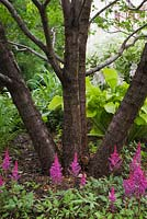 Astilbe 'Vision in Red' flowers, Hosta 'Sun Power' under deciduous tree trunks in front yard country garden in summer, Quebec, Canada