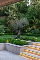 Town garden designed by Kate Gould, lit at night. Lighting illuminates the steps leading from sunken terrace to lawn, an old olive at the corner amidst purple allium and box balls.