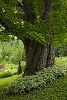 Large Acer - Maple tree trunk underplanted with Aegopodium - Goutweed plants n private front yard country estate garden in summer, Quebec, Canada