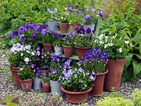 Collection of hardy, perennial violas, planted in pots, and displayed on shelves. Varieties include Fiona Lawrenson, Helen Dillon, Jennifer Andrews, Lucy, Columbine, Josie and Pat Kavanagh.