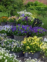Large buckets and trays of perennial violas on display which - from top down, left to right include Charlotte, Jackanapes, Nora, Raven, Fiona Lawrenson, Avril Lawson, Elaine Quin, Blue Moon, Columbine, Belshie.
