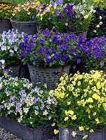Large buckets and trays of perennial violas on display which from top down, left to right include Jackanapes, Nora, Raven, Fiona Lawrenson, Avril Lawson, Elaine Quin, Blue Moon, Columbine, Belshie.