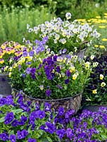 Hardy perennial violas in pots. Back left - Nora. Far back - Charlotte. Far right - Raven. Front - Avril Lawson and Elaine Quinn. In central basket - Aspacia, Perry's Pride and Jupiter.