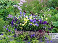 Hardy perennial violas in  basket - Aspacia, Perry's Pride and Jupiter.