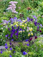 Hardy perennial violas in basket, Aspacia, Perry's Pride and Jupiter.