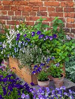 Old wine box planted with hardy perennial violas - white Purity, pink V. cornuta Victoria's Blush, pale blue and white Desdemona, purple Annette Ross and stripy Rebecca. In clay pot to right, Columbine.