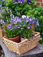 Viola 'Columbine' in basket.