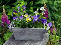 In wooden trug, perennial Violas Myfanwy, Mark's Dainty, Nora and Delia.