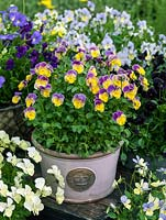 Viola 'Nora', a perennial viola with sweet, rounded flowers that gradate from pinkish purple down to yellow.