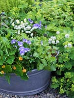 Old wash tub planted with edible flowers and leaves. Viola Lucy. White chives. Double Nasturtium Margaret Long. Rocket, African blue basil and Vietnamese coriander.