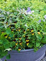 Old wash tub planted with edible flowers and leaves. Violas Jackanapes and Lucy. White chives. Double Nasturtium Margaret Long. Rocket, African blue basil and Vietnamese coriander.