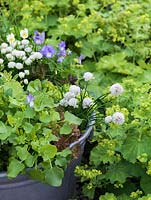 Old wash tub planted with edible flowers and leaves. Viola Lucy. White chives. African blue basil.