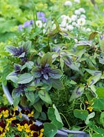 Old wash tub planted with edible flowers and leaves. Violas Jackanapes and Lucy. White chives, rosemary, African blue basil and Vietnamese coriander.
