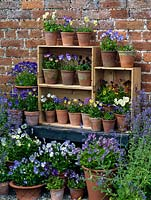 Displayed in old wine boxes, against brick wall, pots of hardy perennial violas. From top, left to right. Palmer's White, Delia, V. cornuta Pat Kavanagh, Lucy, Katerina. Middle - Nora, Columbine, Raven. Bottom shelf Ardross Gem, Myfanwy, white Purity, Julian, Mark's Dainty, Letitia, Mark's Dainty, Irish Molly, Ardross Gem, Purity. Below: Grey Owl, Josie, Helen Dillon and Vita.