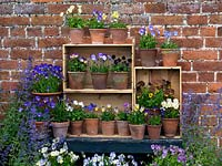 Displayed in old wine boxes, against brick wall, pots of hardy perennial violas. From top, left to right. Palmer's White, Delia, V. cornuta Pat Kavanagh, Lucy, Katerina. Middle - Nora, Columbine, Raven. Bottom shelf Ardross Gem, Myfanwy, white Purity, Julian, Mark's Dainty, Letitia, Mark's Dainty, Irish Molly, Ardross Gem, Purity. Below: Josie, Helen Dillon and Vita.Using free-of-charge, salvaged boxes, this is good idea for introducing additional growing area into a cramped space.