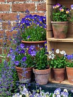 Displayed in old wine boxes, against brick wall, pots of hardy perennial violas. From top, left to right. Ardross Gem, Nora,  Myfanwy, white Purity, Julian. Below - Josie, Helen Dillon.