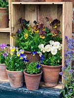 Displayed in old wine boxes, against brick wall, pots of hardy perennial violas.  Mark's Dainty, Irish Molly, Ardross Gem, Purity.
