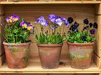 Displayed in old wine boxes, against brick wall, pots of hardy perennial violas. From left to right. Nora, Columbine, Raven.