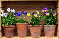 Displayed in old wine boxes, against brick wall, pots of hardy perennial violas. From top, left to right. Purity, Ardross Gem, Mark's Dainty and Nora.