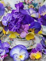 Edwardian bone china coffee set, the cups filled with perennial violas. Behind, blue love-in-the-mist.