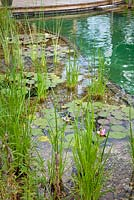Regeneration zone of swimming zone with water lillies and aquatic zone. July.