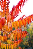 Rhus typhina - Stag's horn sumach, November
